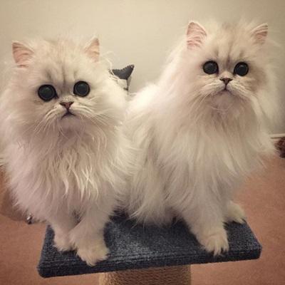 根本是猫界的欧森姊妹花!Milk&Oreo连萌点都要双倍放送