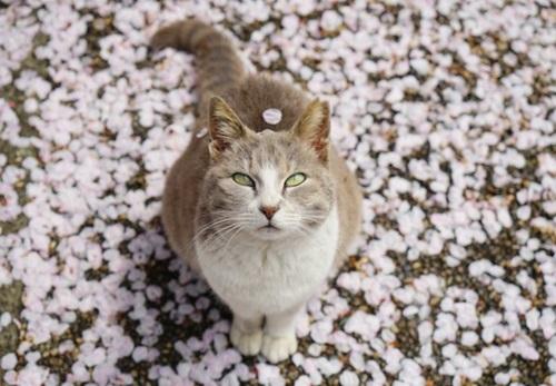 走一个赏樱代言人的节奏?萌猫与樱花的春季邂逅写真