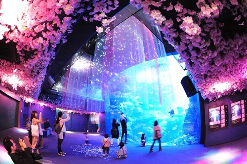 让沙丁鱼群带你遨游樱花海 京都水族馆变成赏花场所了!