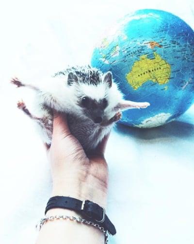 在手心里一起环游世界吧!疗癒刺猬Mr. Pokee就是你的最佳旅伴