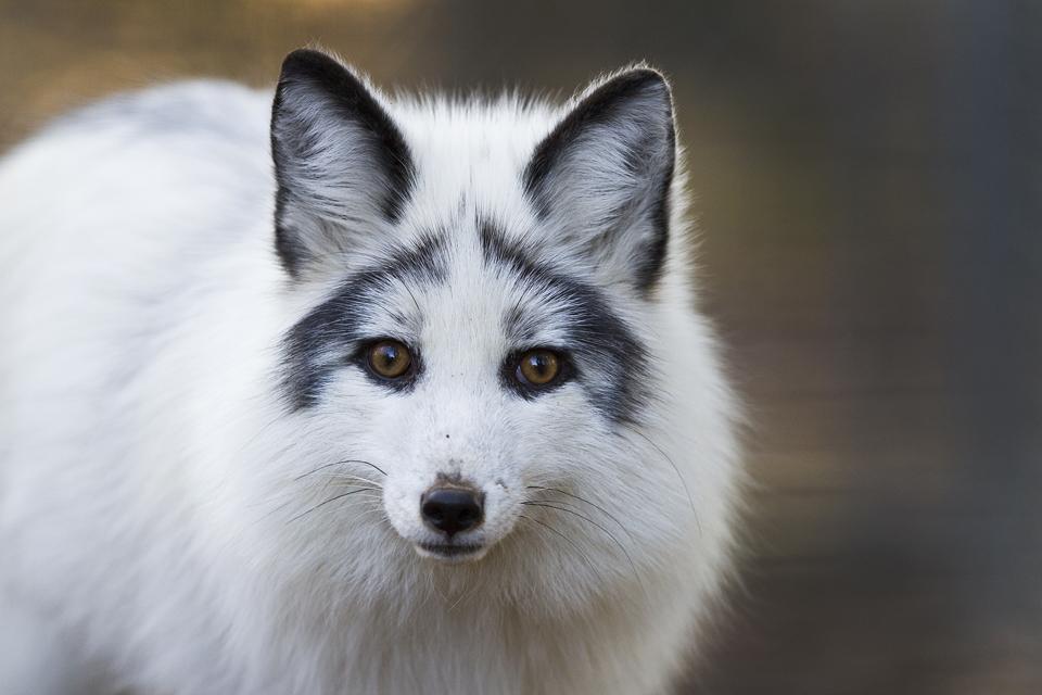這麼美都把我的魂給勾走了!世上最美的狐狸-大理石狐狸 大理石狐狸、狐狸、皮草、美麗、哀傷 生活發現 妞新