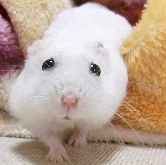 这囧脸也太疗癒了吧!仓鼠Ushikichi的慵懒慢活生活