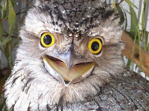 有看过外貌长得像癞蛤蟆的鸟吗?大自然的最佳伪装者-丑萌蟆口鸱