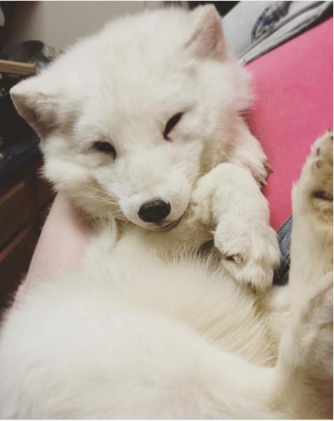 狐狸是怎么叫?北极狐Archer魔性笑声萌翻网友