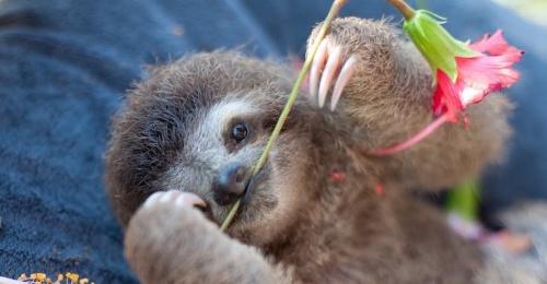 快侠小时候原来这么可爱?树懒宝宝需要你帮助牠们找到回家的路