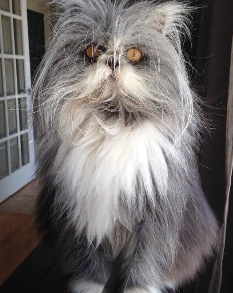 毛多就是可以想换什么髮型就换什么髮型!多毛症的波斯猫-Atchoum