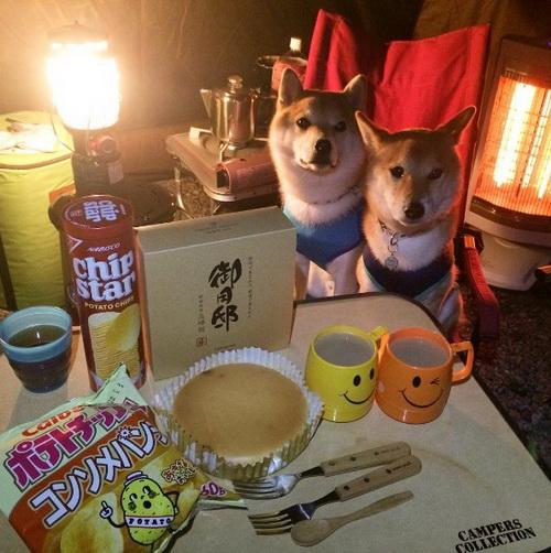 一柴欢乐、二柴不嫌多!柴犬兄弟Koro & Haru的日常生活
