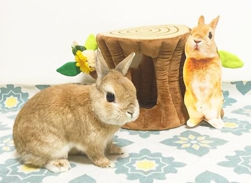 日本超萌宠物兔兔Moq到底有多可爱?居然红到可以出週边上通告!