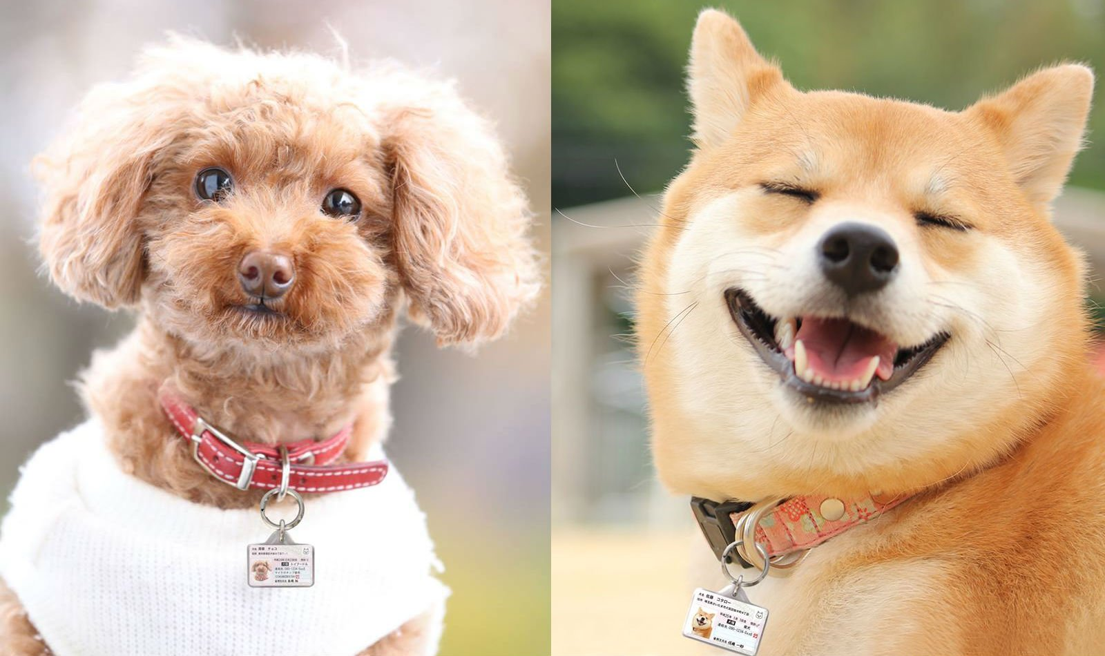 wwwgougou_毛小孩就是我的家人!日本狗狗身分證貼心上市   狗狗、身分證 ...