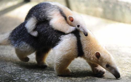 看完都想要养穿山甲了~兇勐肉食性动物的Baby模样也太、可、爱!