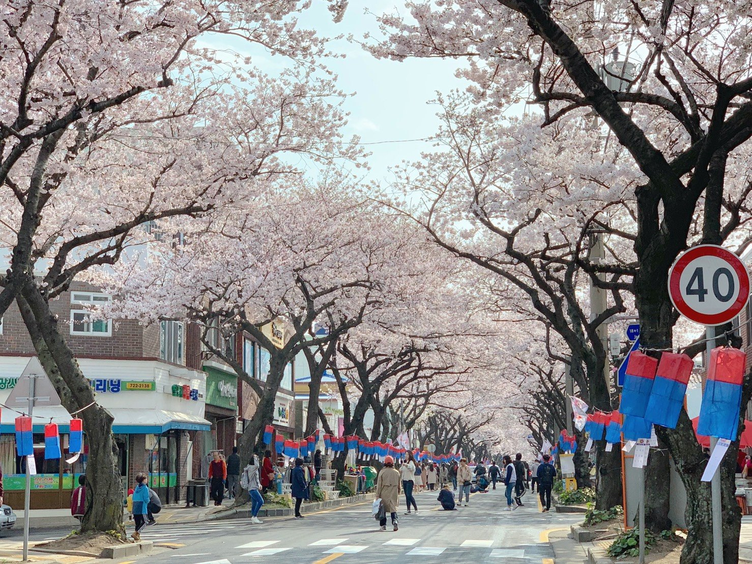 濟州島自由行 春天-櫻花步道