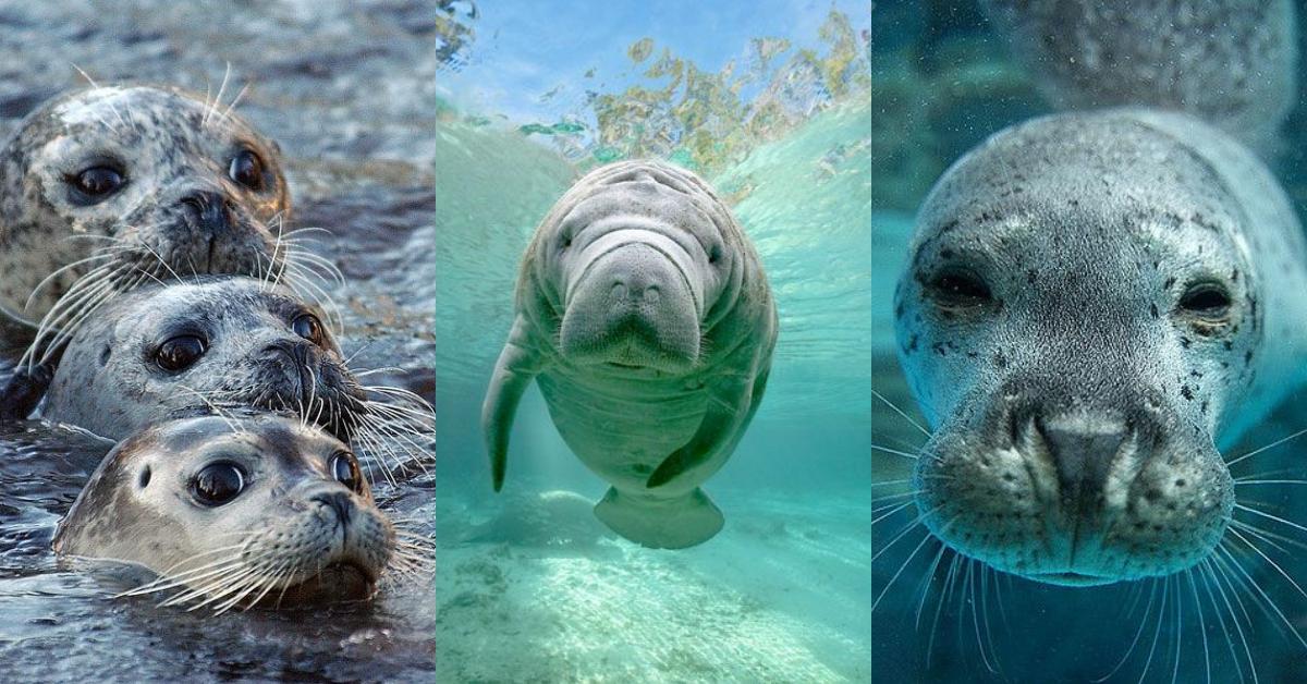 海牛其实不是美人鱼!教你认识海豹、海狗、海狮、海象、海牛与儒艮的差异
