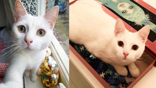 喜欢你朝我走过来的样子 比人类更适合当情人的小白猫!