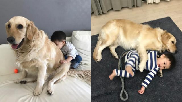 到底是两个儿子还是两只狗?韩国弟弟Dado和黄金猎犬如影随形的好感情